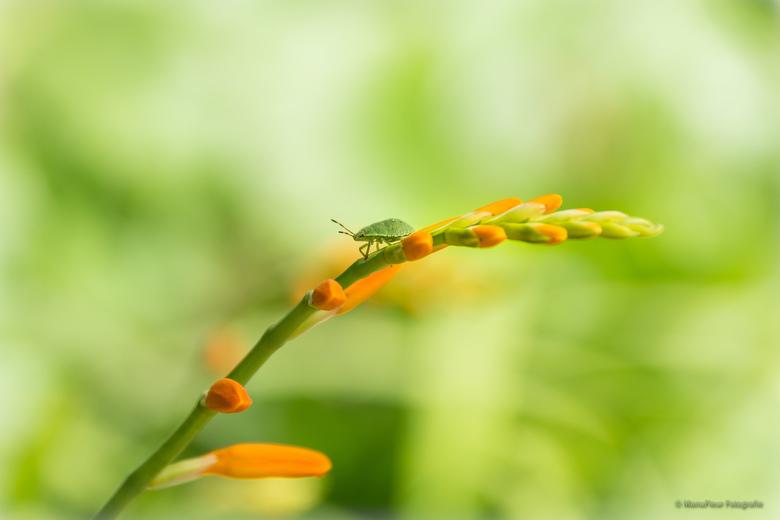 Wants - De oranje bloemetjes zijn zo apart en zo fotogeniek, de wants kreeg ik er gratis bovenop ..