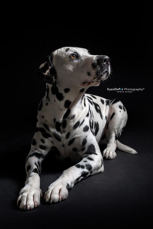 D J A N G O - Django, een stoere Dalmatiër van 6 jaar. Na zijn overwinning met het achtergrondpapier, ging het fotograferen stap voor stap een beetje