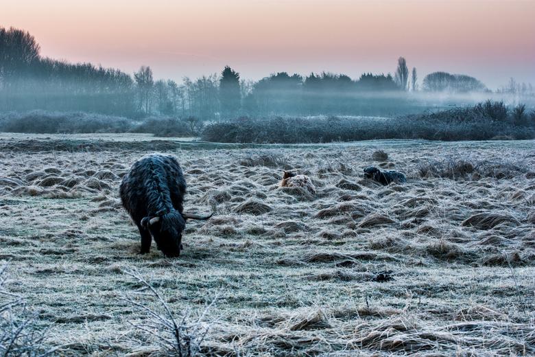 Frozen - Het land is even omgetoverd tot een wit wonderland. De hooglanders hebben zich genesteld in het hoge gras, de rijp is zelfs zichtbaar op hun