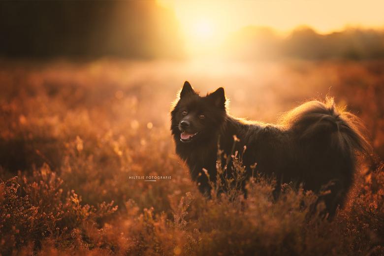 Hond op de heide - Hond op de heide in Bakkeveen