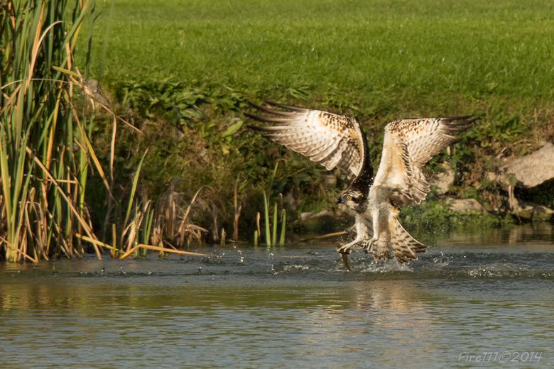 Visarend vangt zijn prooi - Opvliegen uit het water met zijn prooi vergt heel wat energie voor zo'n beest.