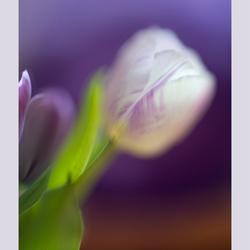 Purple softness