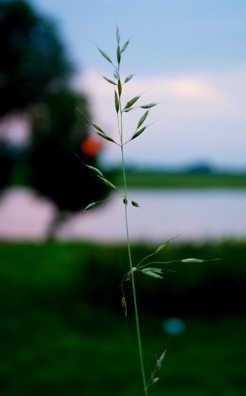 Spriet - Uitstekend sprietje tegen een zonsondergang op de achtergrond.