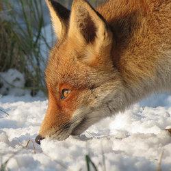 AWD Vos in de Sneeuw