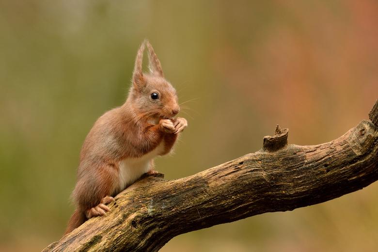 Eekhoorn - Eekhoorntjes, steeds weer leuk om ze te fotograferen!