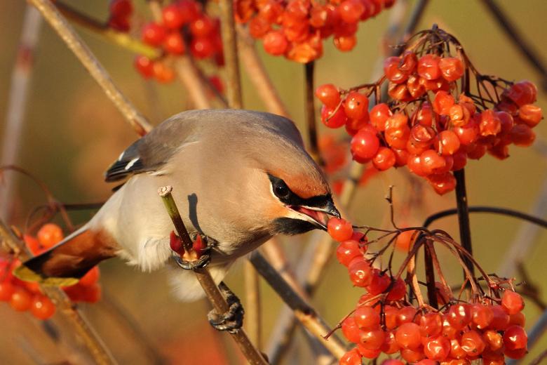Smullen maar - Pestvogel kan niet genoeg krijgen van die overheerlijke besjes.<br /> <br /> Foto is van begin dit jaar.