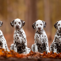 Dalmatiër puppy's in herfst sferen