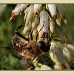 De eerste bijen gesignaleerd