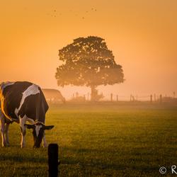 Mistige koe