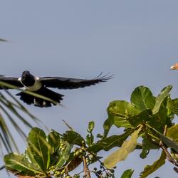 Opgejaagd. Palm nut vulture