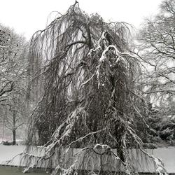 Treurwilg in Winter