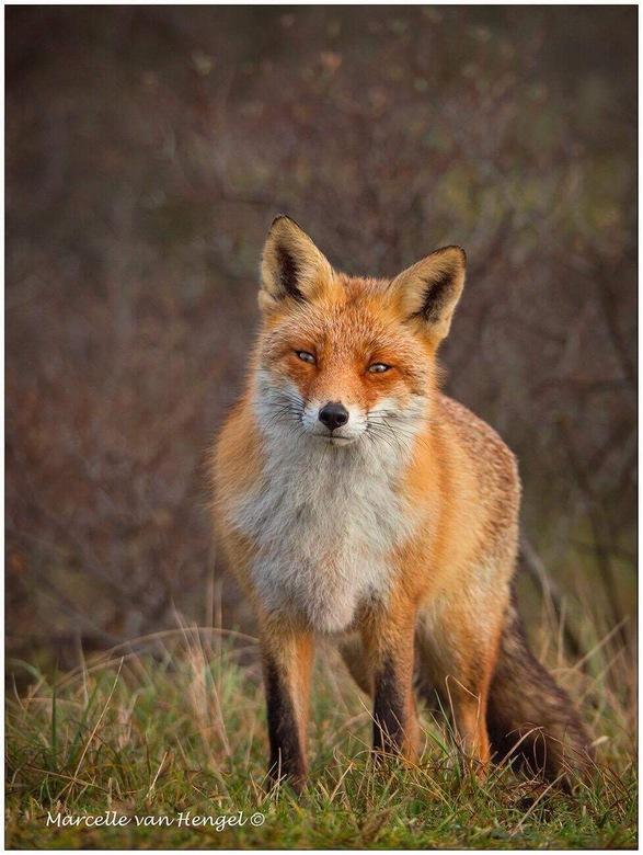 Hi there! - Foto genomen in de Amsterdamse Waterleidingduinen. Altijd weer leuk om de vos daar te ontmoeten.