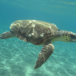 Caretta Caretta schildpad in Zakynthos