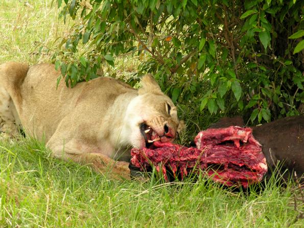 Smakelijk... - Deze leeuwin heeft een van de runderen van een Masai kudde weten te verschalken.