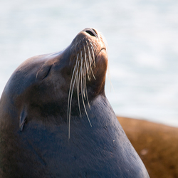 zonnende zeeleeuw