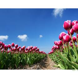de tulpenfoto uit ZOOM