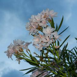 Italie bloem