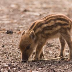 Wild zwijn baby