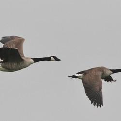 Grote Canadese ganzen in vlucht