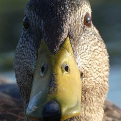 Wilde eend Close-Up.