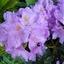 Rhododendron-Foto Dick A.Otten-DAO Fotoarchief-