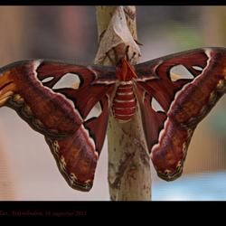 Atlasvlinder
