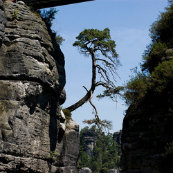 leuke boom bij de bastei