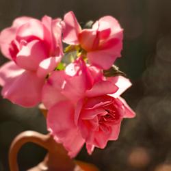 rozen in soft focus