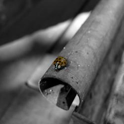 Ladybug zwart wit