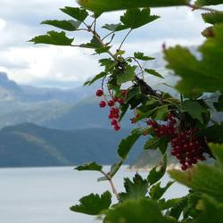 norsk bær