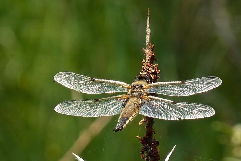 zilveren vleugels - vandaag in de awd deze viervlek libel te pakken gekregen, hij zat heerlijk in het zonnetje te genieten van de warmte, <br /> door