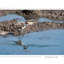 Spur-Winged Plover, Kenia