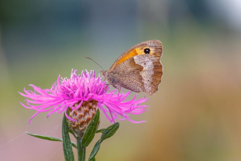 Bruin Zandoogje - Het fotograferen van vlinder gaat me steeds meer boeien. Het is een manier van fotograferen die ook voldoening geeft.<br /> Een aan