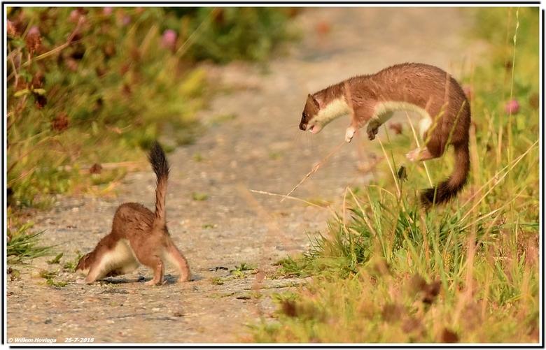 hermelijnen