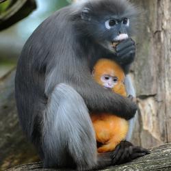 Brillangoer met jong Burgers' Zoo Arnhem