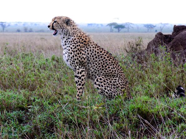 Cheeta - Dit jachtluipaard zat te poseren langs het pad, bijna op aai-afstand.