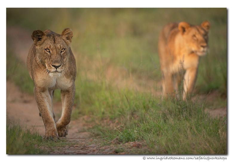 Walking In The Sun - Het eerste ochtendlicht in de Mara geeft je de grootste kans om nog leeuwen in actie te zien. Wij bevonden ons plots temidden de