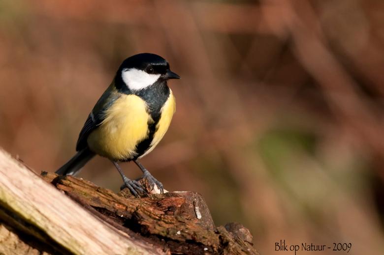 Koolmees - Wat: Koolmees (Parus Major)is onmiskenbaar door zijn zwarte kop met witte wangen, zijn gele buik waar parmantig een zwarte stropdas over ha