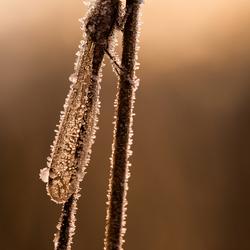 Noordse winterjuffer bedekt met rijp