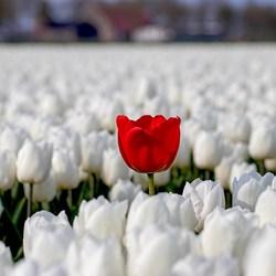 Rode tulp in het veld