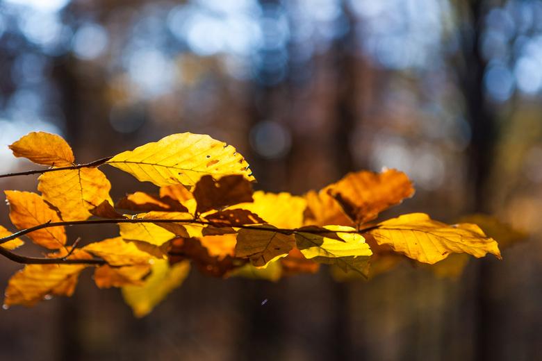herfsttak van een beukenboom - Herfsttak van een beukenboom.