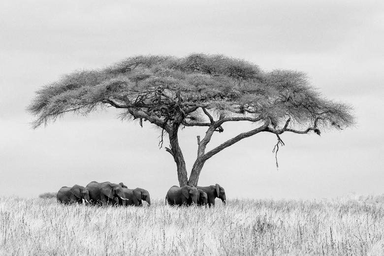 Olifanten in Tarangire NP z/w - Een bewolkte dag in Tarangire NP in Tanzania. Mooi om eens te kijken hoe dat uitpakt in zwart-wit.