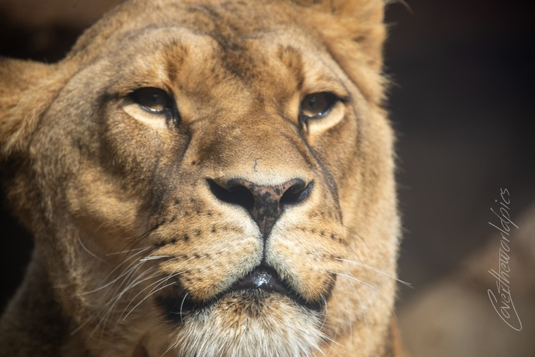leeuwin artis - Portret van een leeuwin