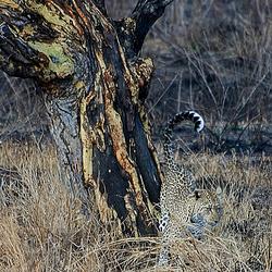Luipaard markeert territorium