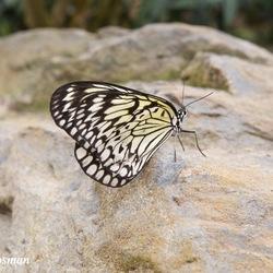 Vlinders de gevleugelde Insecten
