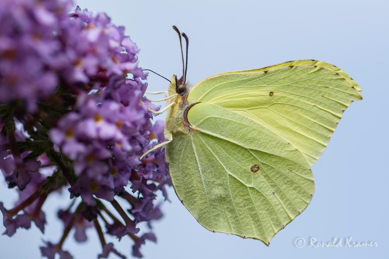 Citroenvlinder - Een citroenvlinder op een vlinderstruik.
