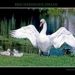 Moederzwaan beschermt