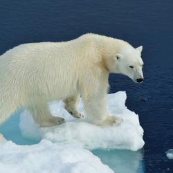 De zomer van de ijsbeer