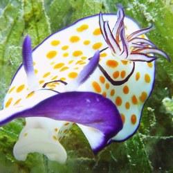 prachtige onderwater naaktslak