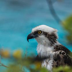 Visarend Bonaire 2